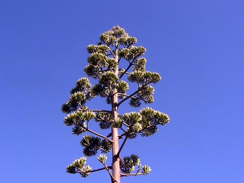 penacho de agave