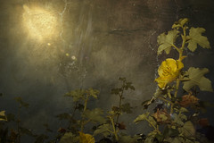 Beneath the Raging Sun (Eric Vondy) Tags: sun flower bright raging hourofthesoul photocreativity