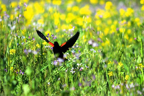 blackbird in spring