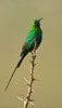 Malachite Sunbird by Jackie During