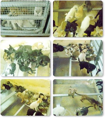 20090817『他們只缺一個機會!』新屋收容所.0815C區屠殺區.黃金獵犬x爆、西施、米克斯寶寶x一堆山、米格魯、哈士奇、排骨米克斯、這區殺很快只能活到0822