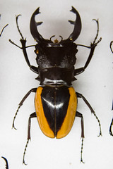 CD419 Odontolabis cuvera (listentoreason) Tags: usa nature animal closeup america canon insect newjersey unitedstates beetle favorites places animalia arthropoda invertebrate arthropod stagbeetle coleoptera tomsriver insecta lucanidae pterygota neoptera endopterygota score35 ef28135mmf3556isusm bugmuseum insectidentification odontolabis insectropolis animalidentification bugseum odontolabiscuvera