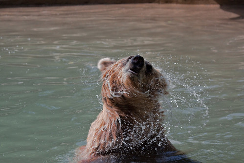 Toronto Zoo-grizzly bear