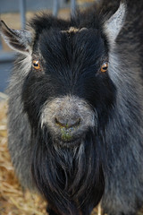 20090901 Wary Goat