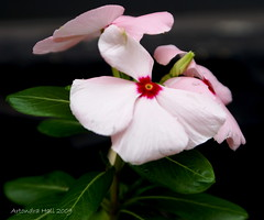 Vinca rosea (Artondra Hall) Tags: maryland flowers exposure0008sec1125 aperturef63 focallength70mm isospeed100 picasa artondrahall projectart69 artondra artondrahallphotography wwwartondrahallphotographycom baltimore photography artist httpwwwredbubblecompeopleprojectart69 pse60