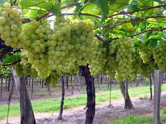 FPM65 Uva Itália (Fernando Picarelli Martins) Tags: frutas uva grape vinhedo vitisvinifera itupevasp uvaitália tablegrape uvafinademesa