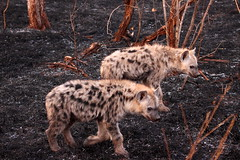 Hyena ashes