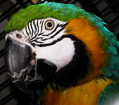 Hello! (peggyhr) Tags: california blue friends portrait white black green yellow nevadacity parrot aphoto mywinners globalvillage2 peggyhr spiritofphotography 1391a