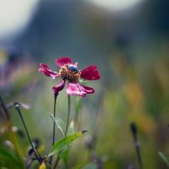 (Wendine) Tags: flower closeup nikon olympus raining ep1 50mmf14ai natureycrap