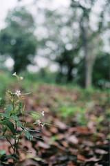 Flor (Mateus Hidalgo) Tags: brazil flower fleur brasil university université flor bosque nikonfm10 matogrosso bois universidade brésil cuiabá ufmt provalue200 fujiprovalue200 fujicolorprovalue200
