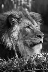 Luke B&W (Leffson Photography) Tags: nature zoo washingtondc wildlife luke lion nationalzoo exoticcats bigcats fonz endangeredspecies africanlion canon70200mmf28l allrightsreserved mywinners canonxti canon14extender flickrdiamond endangeredcats flickrbigcats marleneleffson leffsonphotography marleneleffson allrightsreservedmarleneleffson causeanuproar