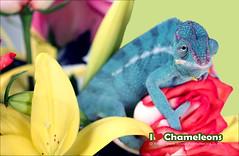 Desmond (iLoveChameleons.com) Tags: blue orchid rose reptile lizard panther chameleon
