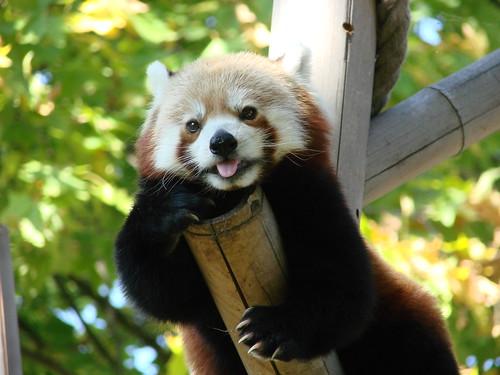 フリー画像|動物写真|哺乳類|レッサーパンダ|あっかんべー!|フリー素材|
