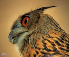 BUHO / OWL (Asi75er) Tags: bird photoshop canon eos flight ave elements owl pajaro bizkaia euskalherria hdr euskadi vizcaya basquecountry paisvasco photoshopelements buho erandio feriamedieval cetreria specanimal 400d canoneos400d ±100aшαrđzorlessthan«500»♥crazy♥comments mygearandmepremium