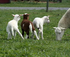 Lamb tails
