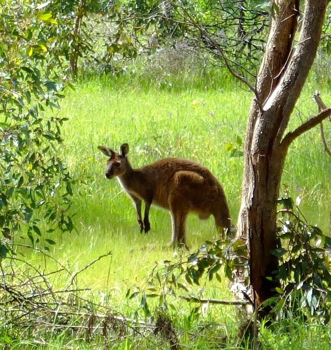 framed wild kangaroo