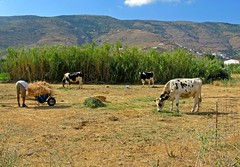 Feeding the cows in Korthi, Andros Island (Nick in Greece) Tags: reeds cattle cows feeding grazing andros korthi