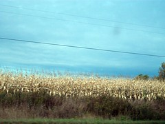 Corn in the fall