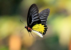 fying into the colourful bokeh (kyuen13) Tags: butterfly bokeh soe flickrdiamond beautifulmonsters