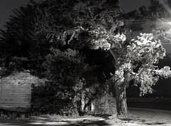 tree crop (ksuwildkat) Tags: light shadow bw delete10 night delete9 delete5 delete2 pentax delete6 delete7 delete8 delete3 delete delete4 save crop shadowsandlight k200d pentaxk200d thanksgordonsl