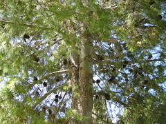 Pine tree (Adriano_of_Adelaide) Tags: tree pine southaustralia portwilunga