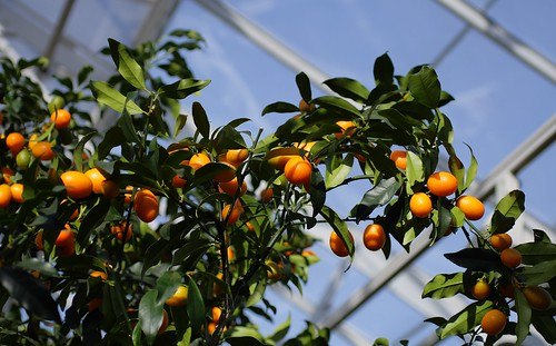 Kumquats on the tree