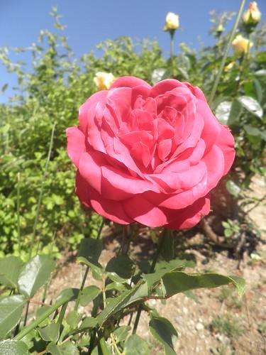 rosas viçosas