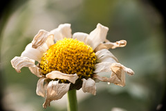 withering daisy (memeetstheworld) Tags: plant flower macro pflanze daisy blume makro leucanthemum margeriten withering raynox welkend welken