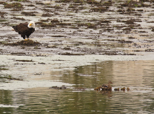 Bald Eagle and Mallard Family