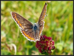 Brown Argus (Kevin Pendragon) Tags: loveit charterhouse