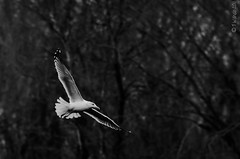 Just another flying gull shot (jr) Tags: white bird wings nikon gull flight stretched starvedrockstatepark d7000
