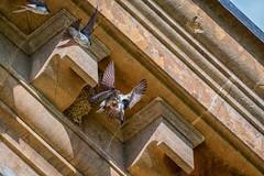 House Martins-4 (cj.holder) Tags: 2016 birds canon70d croomecourt housemartins nests sandstone worcestershire