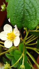 Strawberry's flower (martinasirchio) Tags: macrodreams flower white green garden pure perfeione petali elegance passions