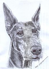 perro a lapicero (ivanutrera) Tags: draw dibujo drawing dibujoalapicero lapicero pen perro animal dog sketch sketching boligrafo ilustracion canino can dibujoaboligrafo