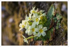 Voglia di primavera 5 (Outlaw Pete 65) Tags: macro closeup fiore flower natura nature colori colours giallo yellow verde green marrone brown nikond600 sigma105mm zone lombardia italia