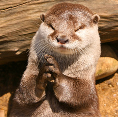 Religious Otter: In The Name Of The Otter .. (Gary's Photos!!) Tags: england london nature animal canon asian photography eos zoo photo foto britain wildlife short otter clawed goldenglobe 50d garywilson goldwildlife flickrlovers vosplusbellesphotos