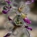 Dalea formosa (Feather Dalia)