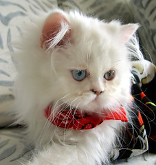 Sude -  My new Kitten (aliaydogmus35) Tags: new pink blue portrait baby white house cute green eye art home nature animals cat persian eyes kitten iran little sweet adorable kitty ear beyaz konak mavi domesticcat kedi izmir yeil gz hayvanlar nouse sevimli yavru chincilla gzler sude ufak inila aliaydogmus
