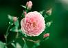 Rosas pra você (MIRANDA, Bruno) Tags: brunomiranda