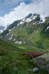 Rhododendron (perry_maurice) Tags: mountain alps switzerland europe places valais gmt beautifulearth valferret vosplusbellesphotos
