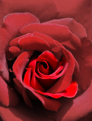 Romantik (_David_Meister_) Tags: red flower rot rose romance bloom romantic curl blume blte romantik wirbel romantisch mywinners overtheexcellence goldstaraward colourfulshot davidmeister