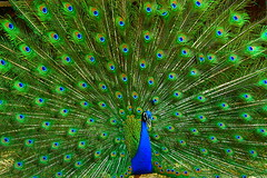 Peacock, the Indian national bird. (Aksveer) Tags: wild india bird nature animal canon eos wildlife 450d canonefs55250mmf456is aksveer