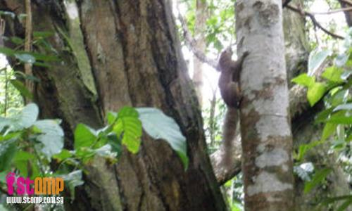 Squirrels jump from tree to tree at Bukit Timah Nature Reserve