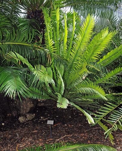 encephalartos senticosus3