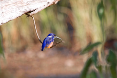 Azure Kingfisher (ppv247) Tags: blue bird canon river pevy bill king branch feather nsw kingfisher fisher dubbo ppv 40d ppv247 peterpevy peterpevyazure