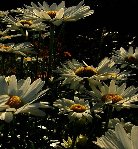 Daisies with sunlight