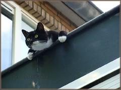 Noor_DSC00767 (Dutch Simba) Tags: cat kat poes noor
