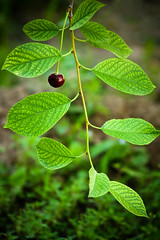 Maturity (hapal) Tags: color green nature leaves cherry leaf branch iran iranian ایران سبز امید زنجان تنها طبیعت solarity شاخه برگ canoneos40d رویش گیلاس hamidnajafi حمیدنجفی