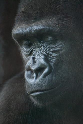 フリー画像| 動物写真| 哺乳類| 猿/サル| ゴリラ|       フリー素材|