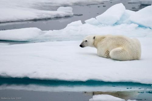 Polar Bear on Ice Flows, Svalbard